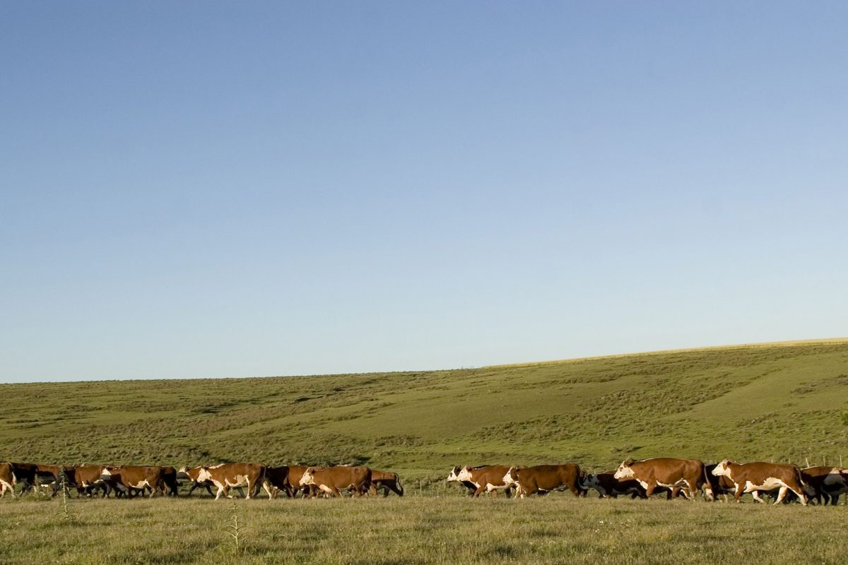 Pictures of cattle eating in the pastures